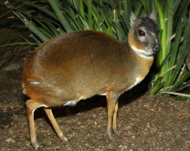 Где живут карликовые антилопы, детеныши которых помещаются на ладони человека
