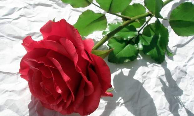 Думаете, это обычная роза? Какбы нетак!