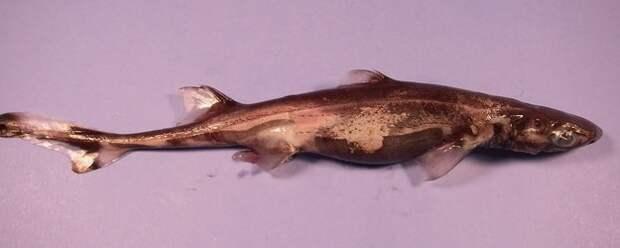 2. Зелёная колючая акула. ЗЕЛЁНАЯ. КОЛЮЧАЯ. акулы, животные, обожание, рыбы, факты