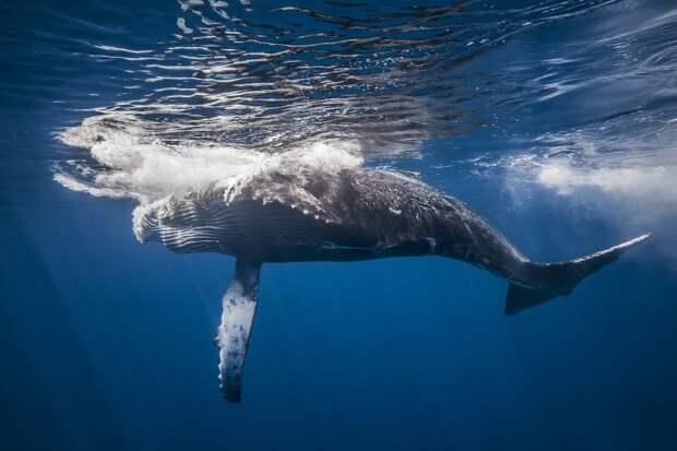 Удивительная фотоистория съёмки китов от подводного фотографа Габи Баратью