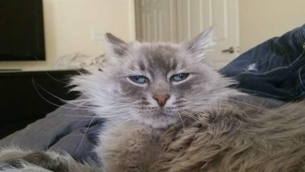 7. Когда поднял лицо с подушки гримаса, кот, утро