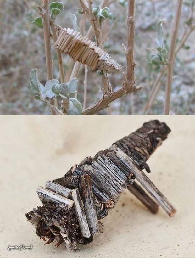 Коконы мотылька amicta quadrangularis животные, факты