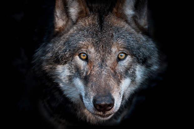 Тамбовский волк оказался на грани исчезновения