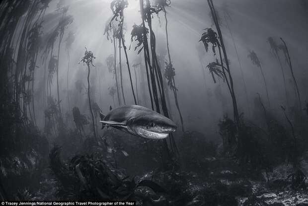 Плоскоголовая семижаберная акула
