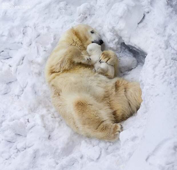 родители животные с их детенышами  белые медведи (2)