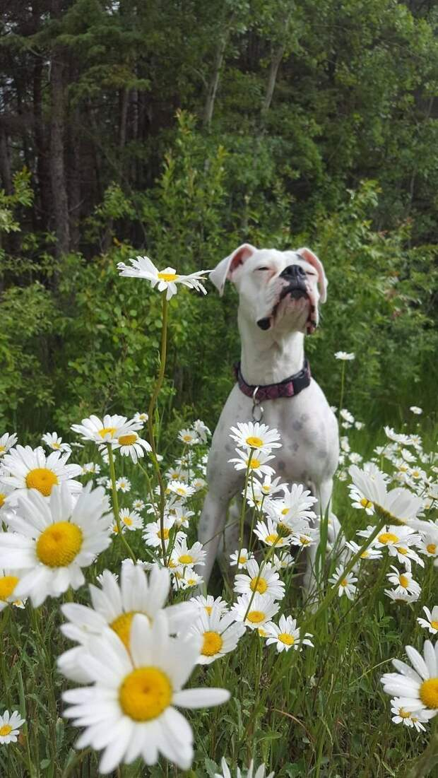 8. Он любит красоту и наслаждается ею боксеры, боксёры, домашние животные, смешные фото, смешные фотографии, собаки, собаки и хозяева, четвероногие питомцы