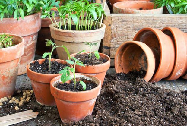 Пикировка растений во вместительные ёмкости - важный этап выращивания рассады