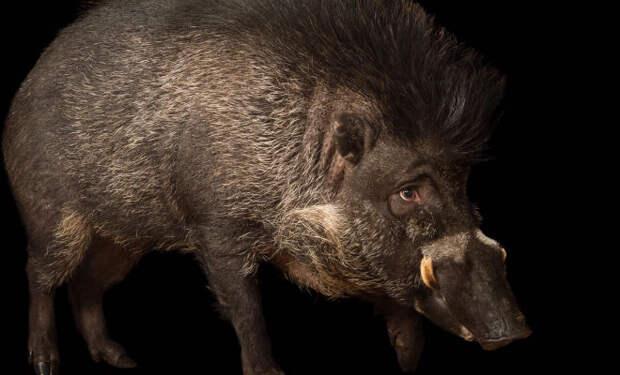 Свиньи эволюционируют: ученые заметили, как животные используют палки и другие орудия труда