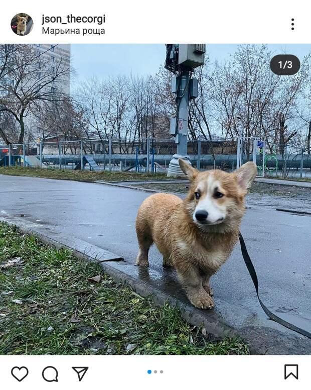 Фото дня: корги из Марьиной рощи опробовал площадку для собак