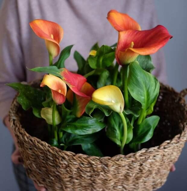 Зантедеския уход за цветком в домашних условиях