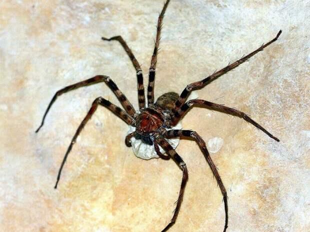 Птицеед-голиаф— самый большой паук напланете