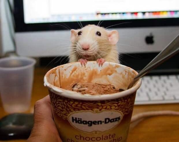 ни могут съесть ваш любимый десерт… животные, крыса, милота, позитив