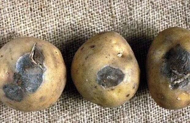 Картофель заболел сухой гнилью, советы чтобы этого не случилось