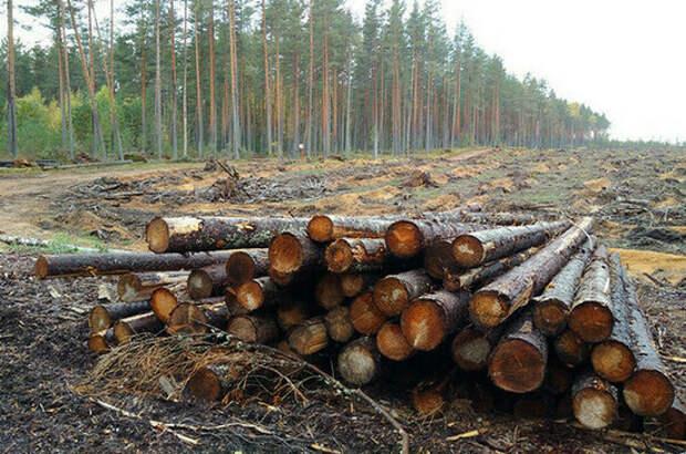На лесовосстановление предпринимателям хотят дать три года