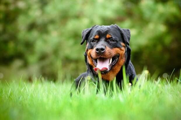 Ротвейлер животные, собаки