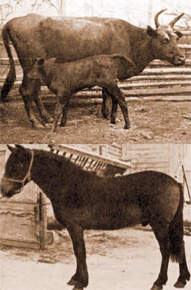 В Сибири кумыс издавна изготовляли как из кобыльего, так и из коровьего молока. На фото — бурятская корова и сибирская лошадь кузнецкой породы