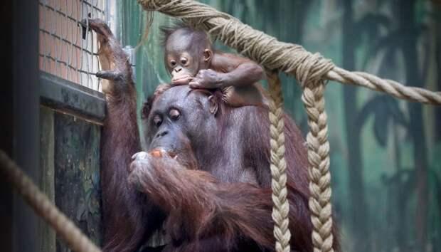 Орангутанг детеныши, дети, животные, забота, звери