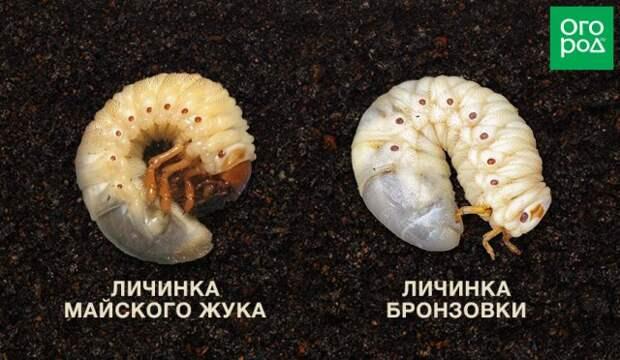 личинка майского жука и бронзовки отличия