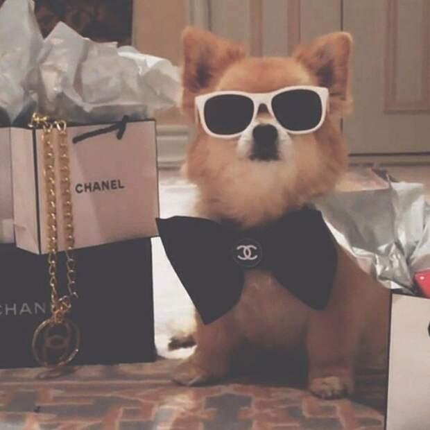 Богатые собачки Лондона, живущее лучше, чем многие люди