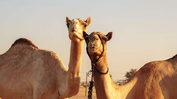 ВСаудовской Аравии обнаружили скульптуры верблюдов возрастом 8000 лет