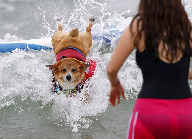 Собачий серфинг в Калифорнии 2015