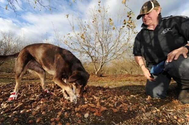 Специально обученный пес ищет трюфели. Раньше грибы искали свиньи, но так как найденные грибы часто пожирались самими хрюшками, поиску обучили собак. Те к трюфелям равнодушны. дорого, еда, трюфель