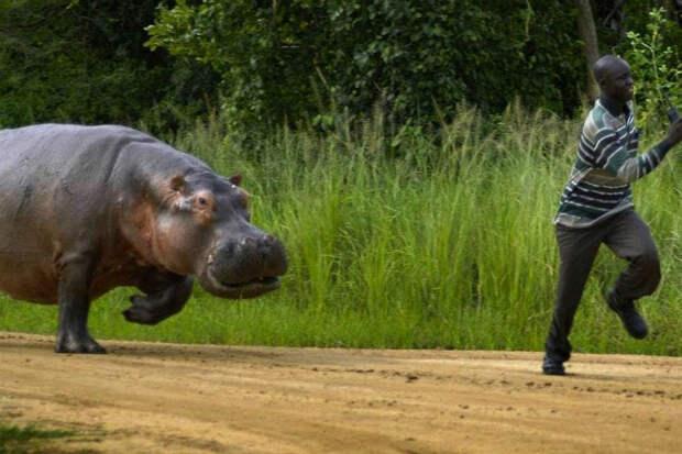 Чудовищный бегемот: самое опасное животное африки