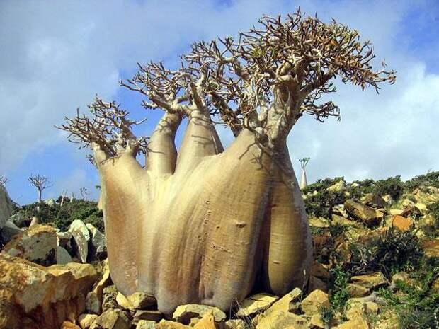 Остров Сокотра (Йемен) (4)