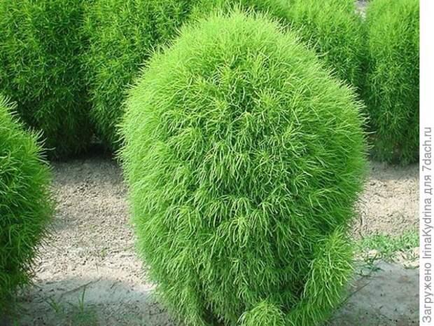 Кохия волосолистная. Фото с сайта zakupator.com