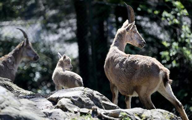 Альпийские козероги детеныши, дети, животные, забота, звери