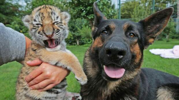 Тигрёнок и собака