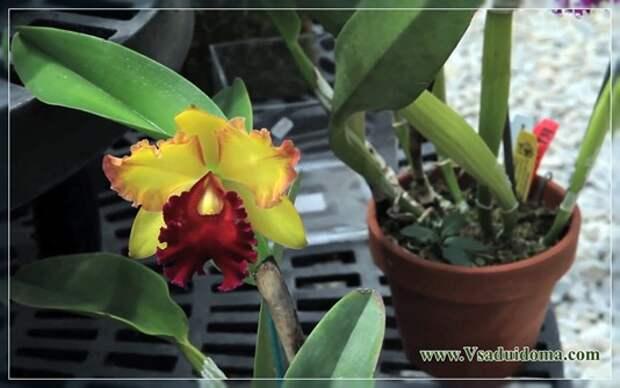Выращивание венериных башмачков (орхидея) в домашних условиях и в саду