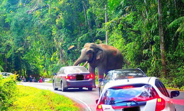 Африканский слон вступил в противостояние с автомобилем