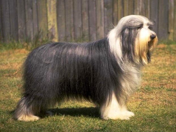 Бородатый колли, или бердед-колли, фото породы собак фотография