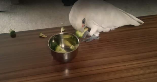 """""""Сама ешь свою брокколи!"""" Попугай отказался сидеть на диете и… начал буянить по-крупному! :)"""