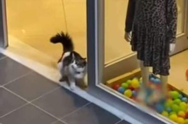Озорная кошка забежала в магазин, чтобы поиграть с украшавшими витрину шариками (2 фото + 1 видео)
