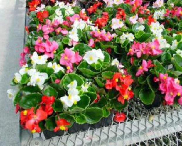 Бегония ампельная из семян, выращивание в домашних условиях