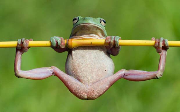Незадачливый атлет. Или просто древесная лягушка. животные, жизнь, позитив, эмоции