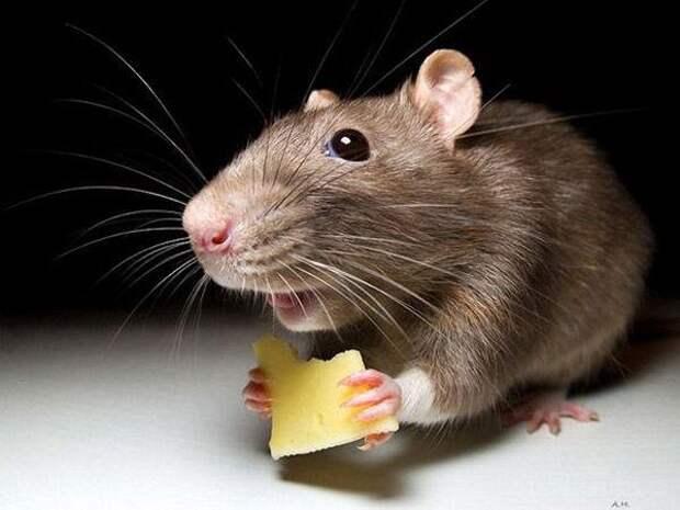 Севастопольцы жалуются на незарегистрированных жильцов: блох и крыс