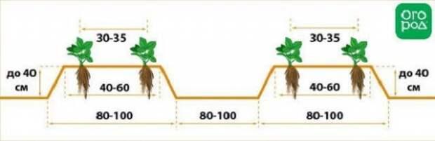 схема посадки рассады клубники фриго