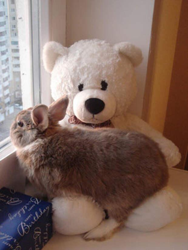 Кролик с челкой порода