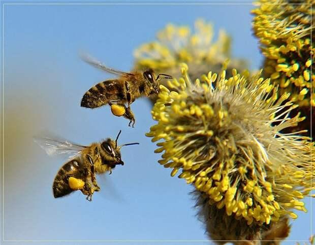 http://polzovred.ru/wp-content/uploads/2014/12/bee_pollen_06.jpg