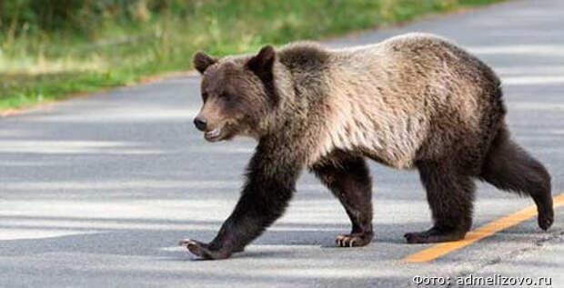 Из-за медведя жителей Елизова призвали не выходить вечером на улицу