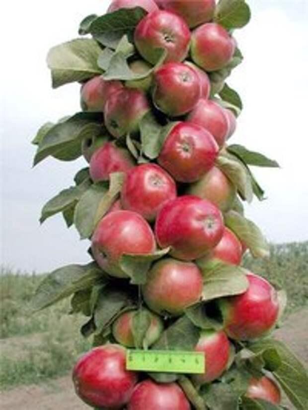Готовимся к следующему сезону. Выбираем плодовые деревья.