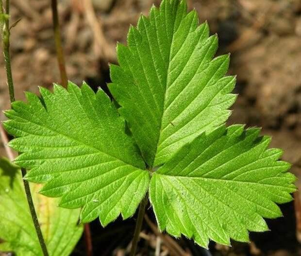 Листья земляники – уникальное природное средство!