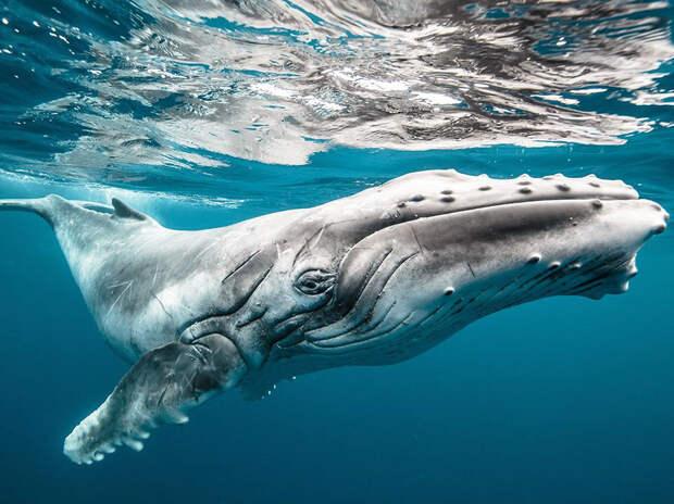 Большой ребенок – горбатый кит