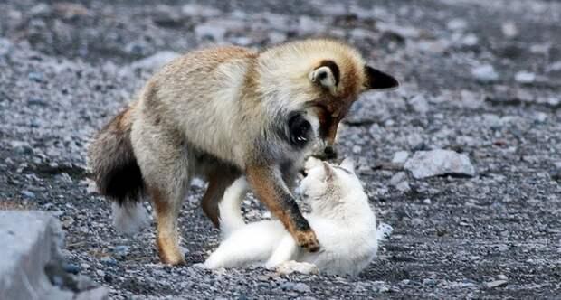 Лиса хотела съесть бездомную кошку, но произошло невообразимое — возникла дружба