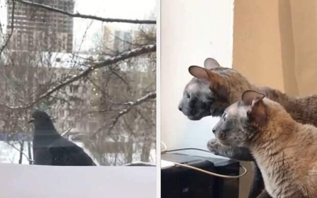 «Оно смотрит на нас»: голубь до чертиков напугал двух котов
