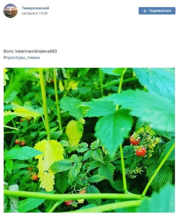 Фото дня: дикая малина в Тимирязевском лесу