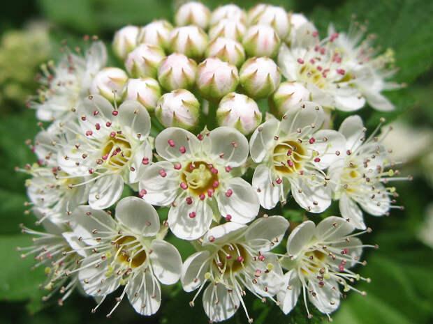Цветущая спирея весна, деревья, цветы